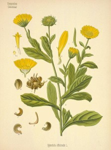 marigold calendula
